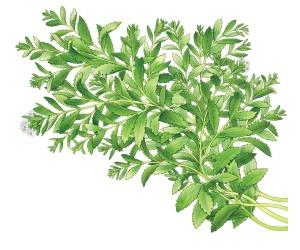 Growing-Stevia-Plant