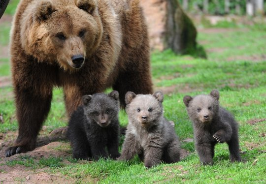 Brown-Bear-and-Cubs1