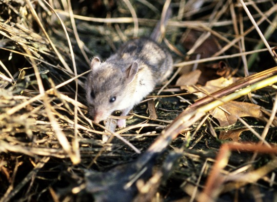animals-reservoirs-whitefootedmouse