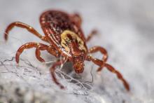 dog-tick-closeup-rocky-mountain-spotted-fever