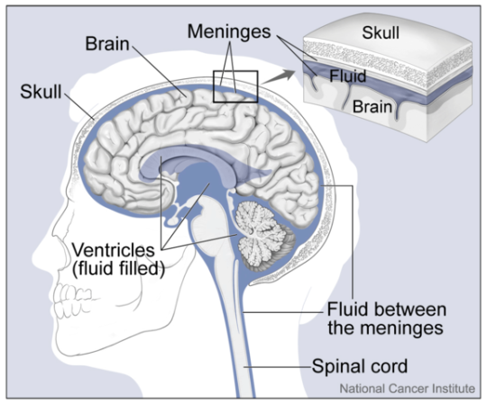 577px-Brain_and_Nearby_Structures