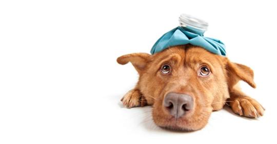 Circovirus-Why-This-Fatal-Dog-Virus-Should-Be-Taken-Seriously